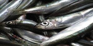 Sardalya balığının bilinmeyen 20 faydası nelerdir…